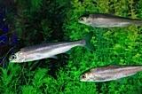 ヒメマス稚魚養殖の様子:ヒメマス